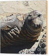 Young Elephant Seal Molting . 7d16091 Wood Print by Wingsdomain Art and Photography
