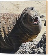 Young Elephant Seal Molting . 7d16100 Wood Print