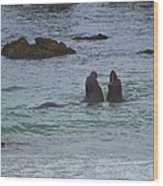 Young Elephant Seals Sparring Wood Print