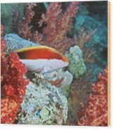 Young Forster's Hawkfish Wood Print