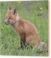Young Fox Among The Dandelions Wood Print