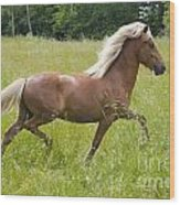 Young Icelandic Horse In A Trot Wood Print