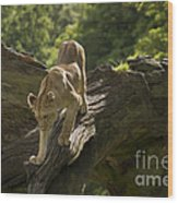 Young Lion Stalking Wood Print