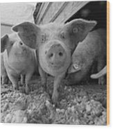 Young Pigs In A Snowy Pen. Property Wood Print