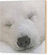 Young Polar Bear With Snow Dusted Wood Print