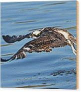 Young Raptor Wood Print