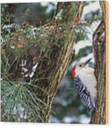 Young Red-bellied Woodpecker Wood Print