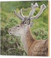 Young Red Deer Wood Print
