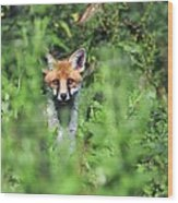 Young Red Fox Wood Print