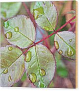 Young Rose Leaves Wood Print
