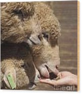 Young Sheep Are Hand Fed Wood Print