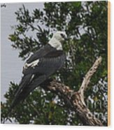 Young Swallow-tailed Kite Wood Print