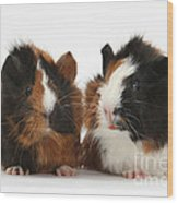 Young Tricolour Guinea Pigs Wood Print