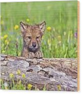 Young Wolf Cub Peering Over Log Wood Print