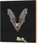 Yuma Myotis Bat Hunting Moth Wood Print