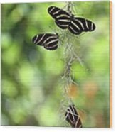 Zebra Butterflies Hanging Out Wood Print