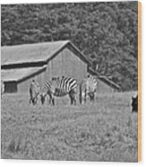 Zebras In San Simeon Wood Print