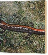Zig-zag Salamander Wood Print