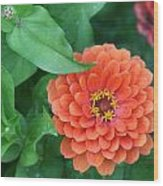 Zinnia Flower Stages Of Life Wood Print