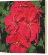 Zonal Geranium Named Candy Cherry Wood Print
