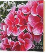Zonal Geranium Named Candy Fantasy Kiss Wood Print
