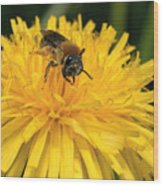 A Bee In A Dandelion Wood Print
