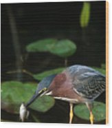 A Green Heron With Fish Wood Print