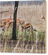 Antidorcas Marsupialis Wood Print