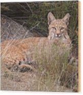 Bobcat At Rest Wood Print