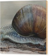 Burgundy Snail Wood Print