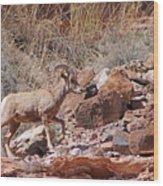 Escalante Canyon Desert Bighorn Sheep  Wood Print