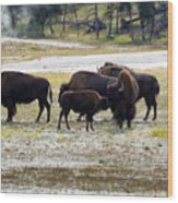North American Female Buffalo And Her Offspring Showing Affecti Wood Print