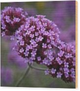 Purpletop Vervain Wood Print