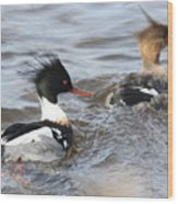 Red-breasted-merganser-ducks Wood Print