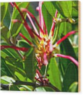 Red Spider Flower Close Up Wood Print