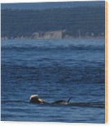 Southern Resident Orcas And Salmon Off The San Juan Islands Playing With Salmon Wood Print