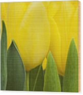 Spring Yellow Tulips Wood Print