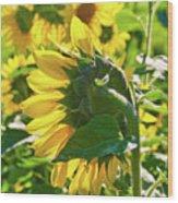 Sunflower 7249a Wood Print