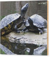Turtles Sunning And Holding Hands Wood Print