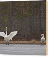 Whooper Swans 2 Wood Print