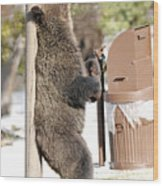 060510-grizzly Back Scratch Wood Print
