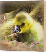 0983 - Canada Goose Wood Print