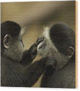 A Blue Monkey Cercopithecus Mitis Wood Print by Joel Sartore