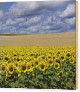 A Field Of Sunflowers . Auvergne. France Wood Print
