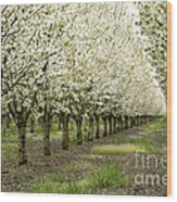 A Flowering Cherry Orchard Wood Print