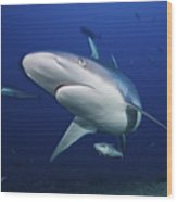 A Large Silvertip Shark, Fiji Wood Print by Terry Moore