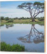 Acacia Tree Reflection Wood Print