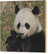 Adorable Giant Panda Eating A Green Shoot Of Bamboo Wood Print