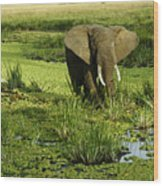 African Elephant In Swamp Wood Print