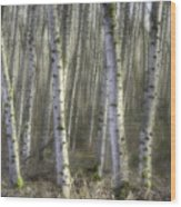 Afternoon Birch Trees Wood Print